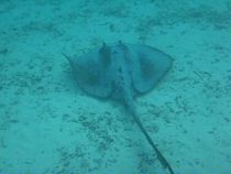 stingray Video